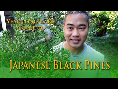 A yearly guide to Japanese Black Pine Bonsai Care