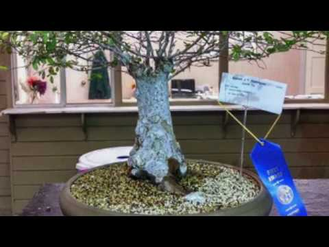 What Trees are Good for Bonsai.