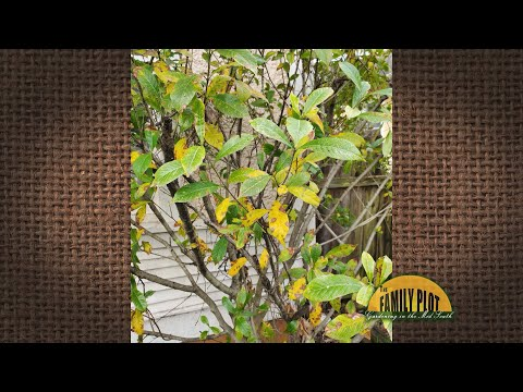 Q&A – Why do my gardenia leaves have yellow spots?