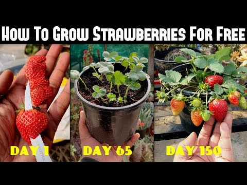 How To Grow Strawberries From Seed   SEED TO HARVEST