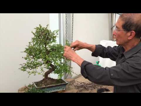 How to Prune a Chinese Elm Bonsai Tree EASY!!! - Peter Chan