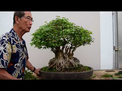 Pruning a Trident Maple Bonsai