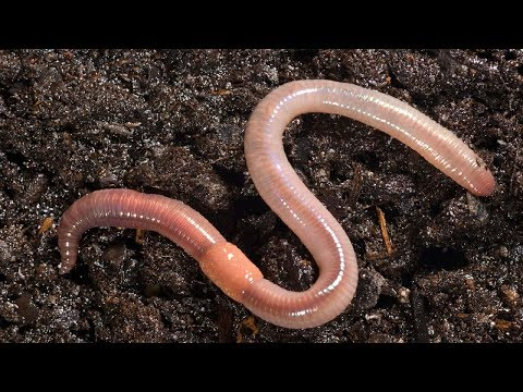 This is What Happens When You Put Earthworm in Your garden soil