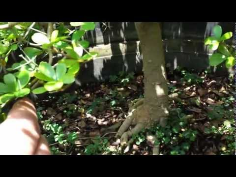 Introduction to Black Olive Bonsai by Jason of Schley's Bonsai and Supplies