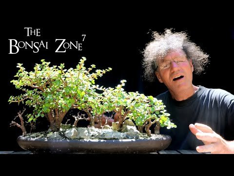 Growing a Baobab Bonsai From Seed, Part 1, The Bonsai Zone, July 2020