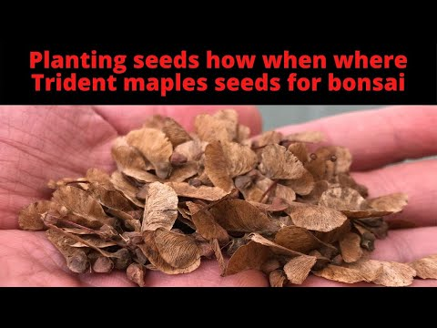 How to plant seeds Trident maple seeds for bonsai How When Where and Why to plant tree seeds