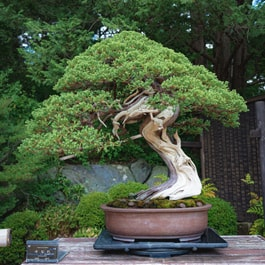 Are coffee grounds good for bonsai trees