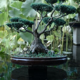 Can bonsai trees live underwater