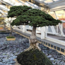 How to get rid of mites on bonsai