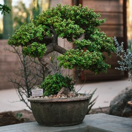 Why are bonsai pots shallow